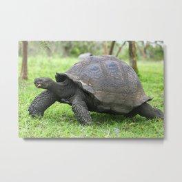 Galapagos Giant Tortoise Metal Print