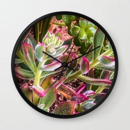 closeup green and pink succulent garden Wall Clock