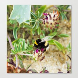 bumble bee on the dunes I Canvas Print