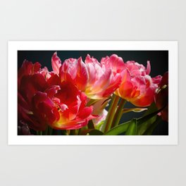 Pink and Red Parrot Tulips close up II Art Print