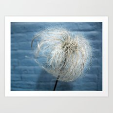 Clematis Alpina Seed head on blue Art Print