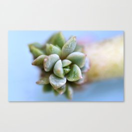 The Succulent Triplets Canvas Print