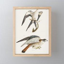 15 The Swallow-tailed Hawk (Nauclerus furcatus) 16 The American Sparrow Hawk (Falco Sparverius)  fro Framed Mini Art Print