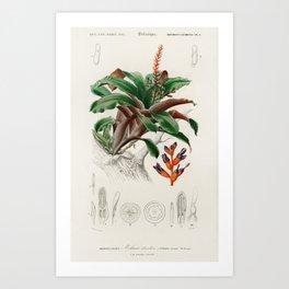 Bromeliad (Aechmea discolor) illustrated by Charles Dessalines D Orbigny (1806-1876) Art Print