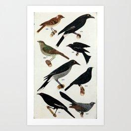 Vintage Print - An Australian Bird Book (1911) - Magpies, Bower-Birds, Choughs, and Relatives Art Print