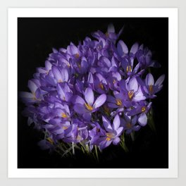 the colors of spring - lilac crocus Art Print