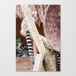 Ring-tailed lemur Canvas Print