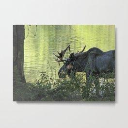 Moose Moment Metal Print