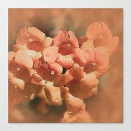 Softly Peach Canvas Print
