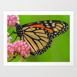 Monarch Butterfly on Pink Flowers 1 Art Print