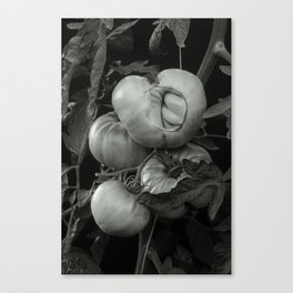 The Ripe Tomatoes Canvas Print