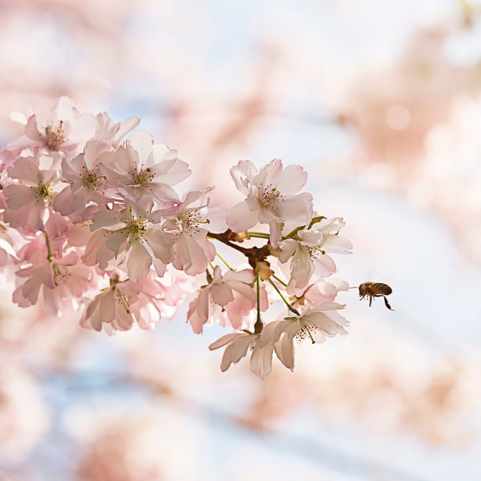 Bee and cherry branches against the blue sky Comforters