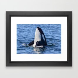 Killer Whale Spy Hop Framed Art Print