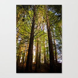 Within The Redwoods Canvas Print