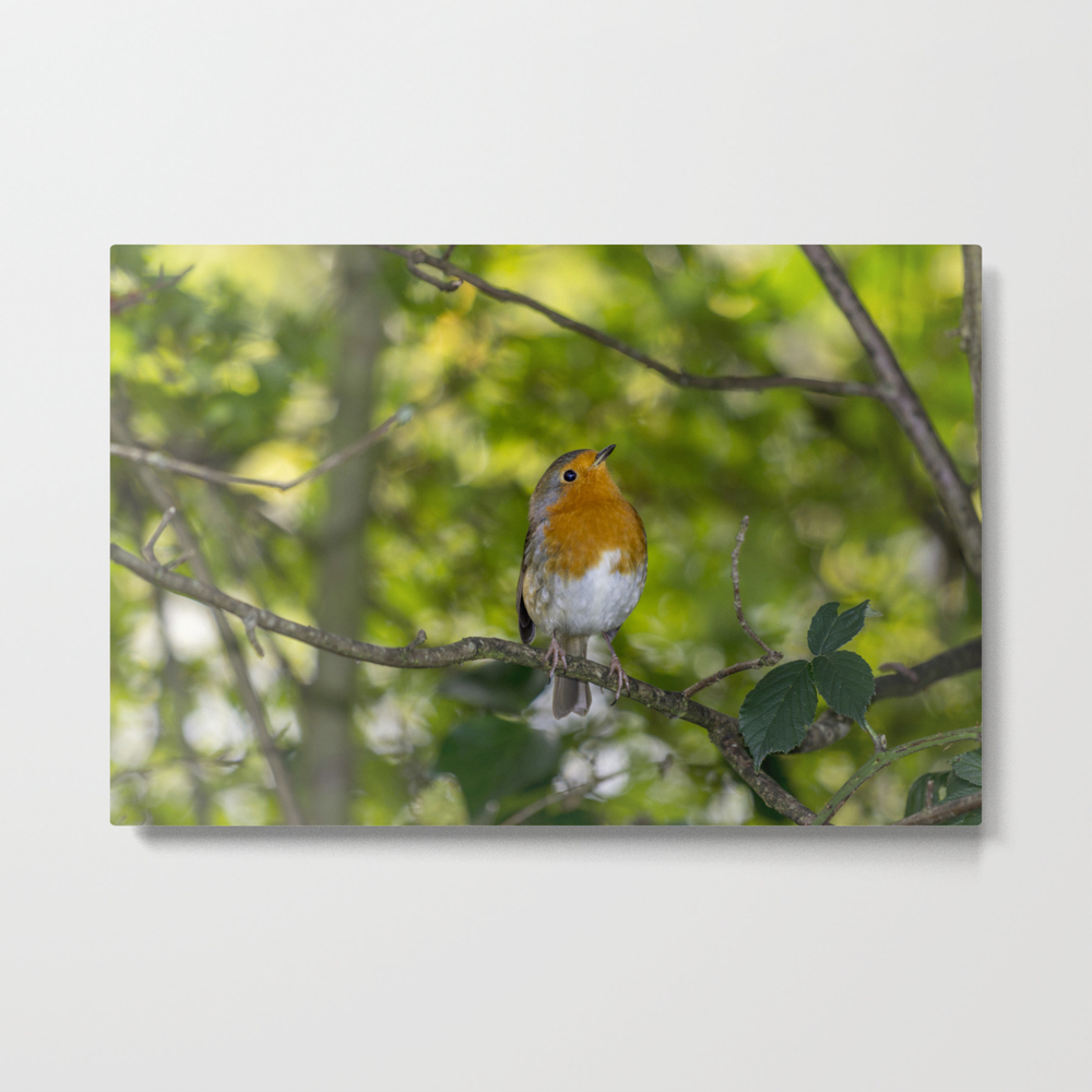 Redbreast. Metal Print by Angelaairdphotography (MTP7976473) photo