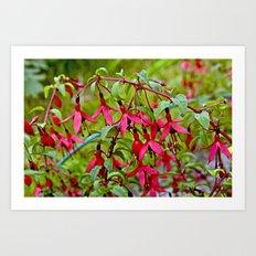 Pink Fuchsia Blossoms Art Print