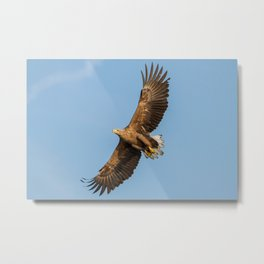 White-Tailed Eagle from below Metal Print