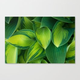 Hosta Camouflage Canvas Print