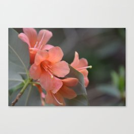 Orange Rhododendron in bloom Canvas Print
