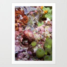 Chromodoris tinctoria nudibranch Art Print