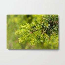 Green coniferous fresh shoots detail Metal Print