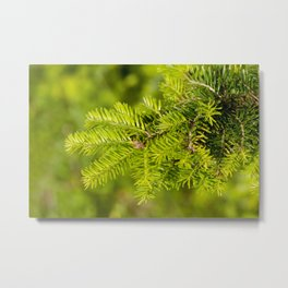 Green coniferous fresh shoots detail Metal Print