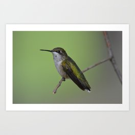 Ruby Throated Humming Bird At Rest Art Print
