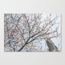 Cherry Blossoms in the spring Canvas Print