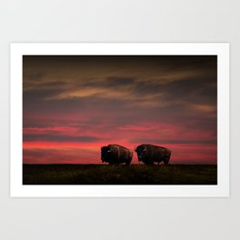 Two American Buffalo Bison at Sunset Art Print