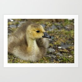 Baby Canada Goose on Guard Art Print