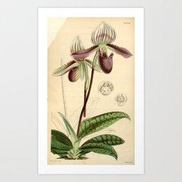 Paphiopedilum barbatum/Cypripedium barbatum Art Print
