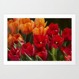 tulip flower in spring in the garden Art Print