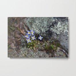Thyme Leaved Bluets #2 Metal Print