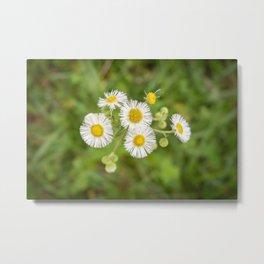 Fleabane Wildflower Metal Print