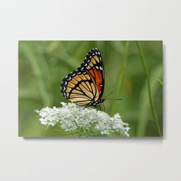 Viceroy Butterfly on Queen Anne's Lace Metal Print