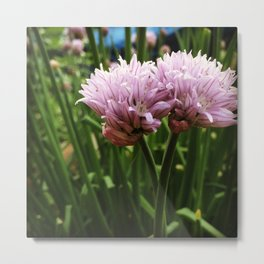 Chive Blossoms Metal Print