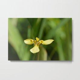 Yellow Walking Iris Metal Print