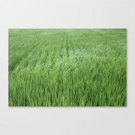 A rice field on a windy day Canvas Print