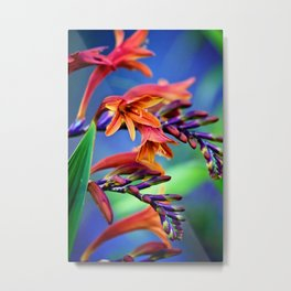 Blooming Crocosmia Metal Print