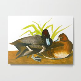Scaup Duck Metal Print