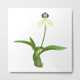 Encyclia cochleata - Clamshell Orchid Metal Print