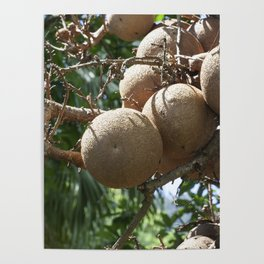 Cannonball Fruit Poster