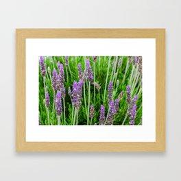 Common lavender flowers Framed Art Print