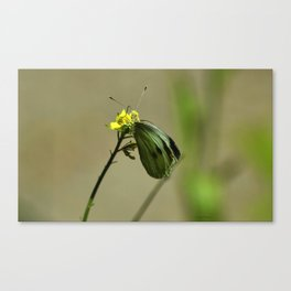 Green Winged Fairy Butterfly Canvas Print