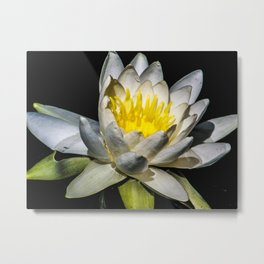 Wisconsin White Water Lily Metal Print