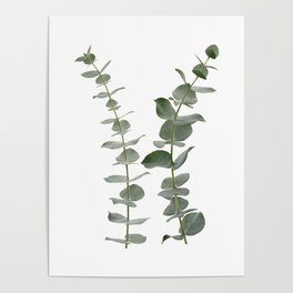 Eucalyptus Branches I Poster