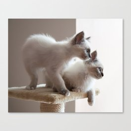 Portrait of two white long hair birman cats with blue eyes. Canvas Print