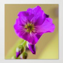 Sundew Flower Canvas Print