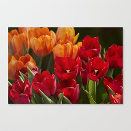 tulip flower in spring in the garden Canvas Print
