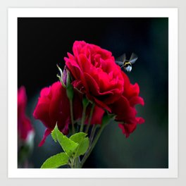 Red Rose Pollination Art Print